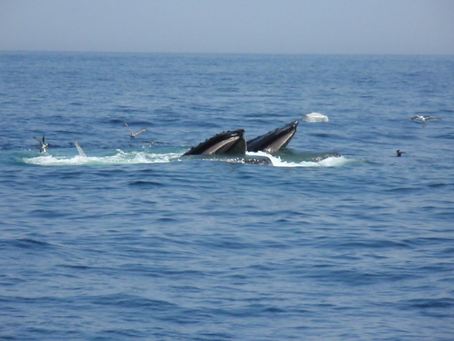 Humpbacks feeding