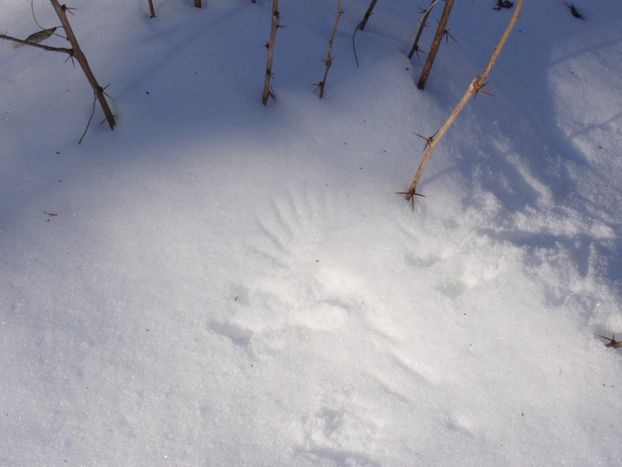 Chickadee wingprint