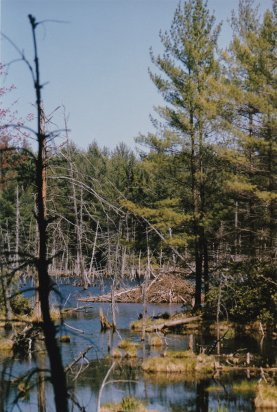 beaver lodge, pond