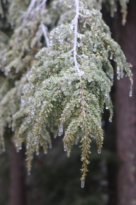 Ice coating hemlock branch