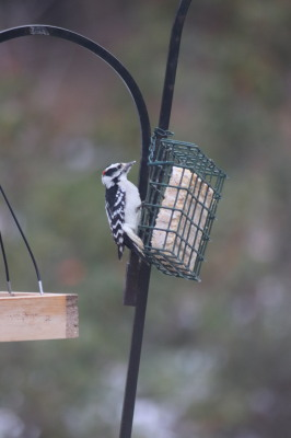 Black and white downy woodpecker on a cage of suet